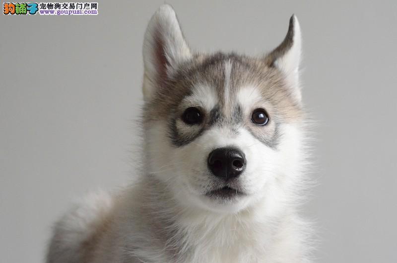 朝阳家养哈士奇犬转让品相好血统纯正二哈幼犬可视频看