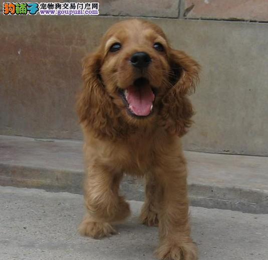 家养纯种健康的可卡幼犬出售 血统纯品相佳