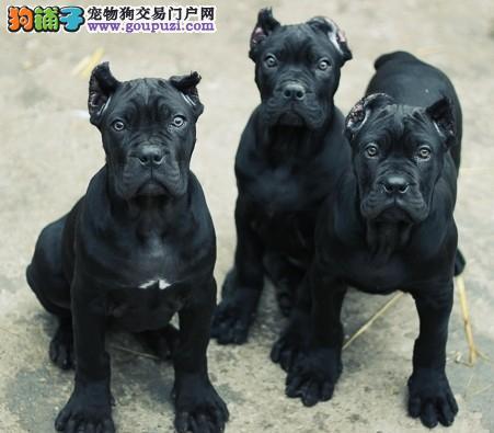 卡斯罗 纯种健康专业狗场繁殖 签协议 可送货上门