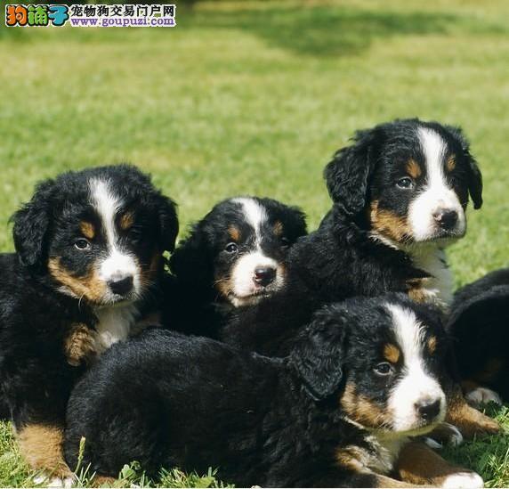 楚雄州狗场低价直销伯恩山犬幼犬可签协议保障健康品质