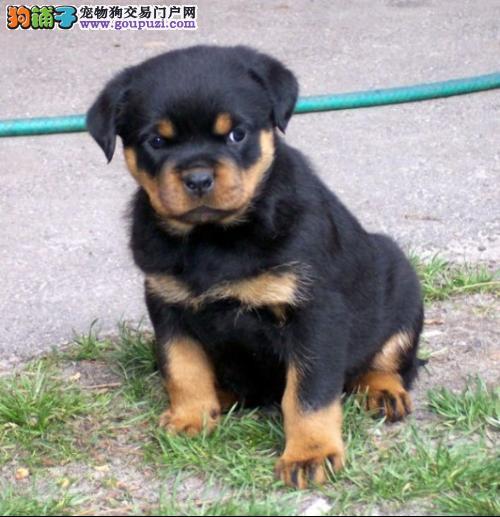 多种颜色的郑州茶杯犬找爸爸妈妈包售后包退换2