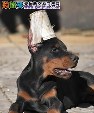 冠军后代青岛售精品杜宾犬幼犬自家繁殖可见父母可视频