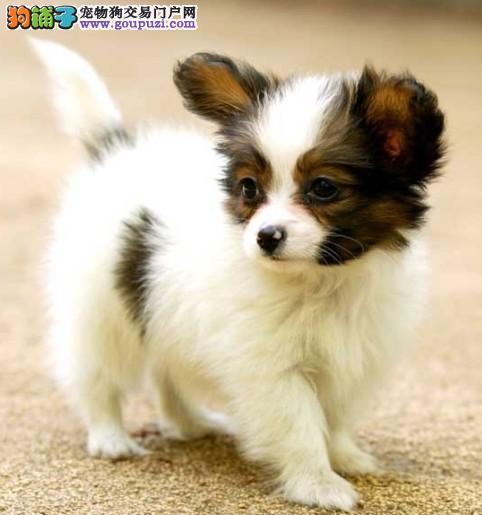 出售纯种健康的青岛蝴蝶犬幼犬国际血统认证