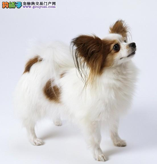 广州蝴蝶犬 广州犬业出售健康纯种蝴蝶犬