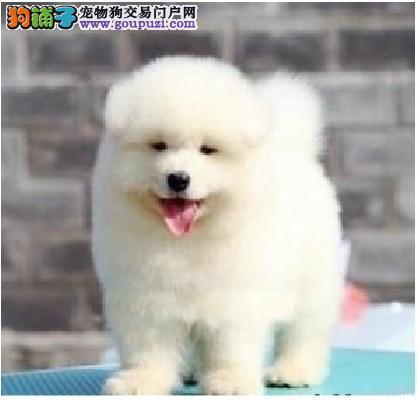 三个月大的萨摩耶幼犬如何照料更科学