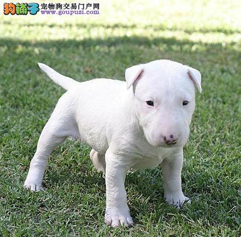 本狗场出售赛级牛头梗幼犬健康质保三年
