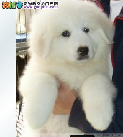 出售纯种可爱的大白熊幼犬健康保证品质一流1