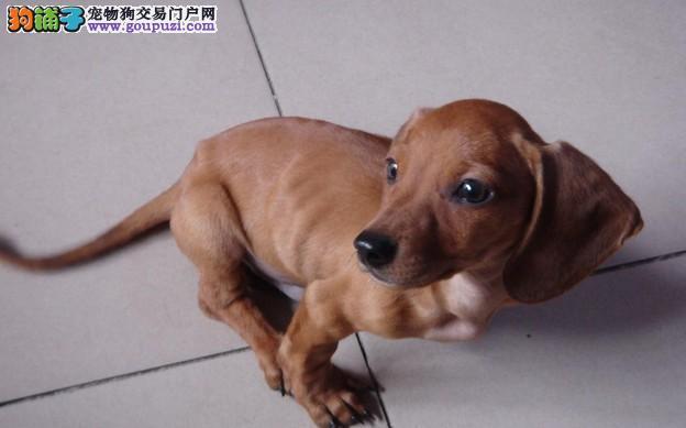 极品纯正的福州腊肠犬幼犬热销中品相一流疫苗齐全2