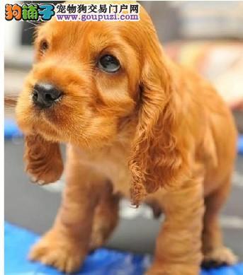 出售纯种可卡犬 高品质 健康保证 公母都有 可上门看狗