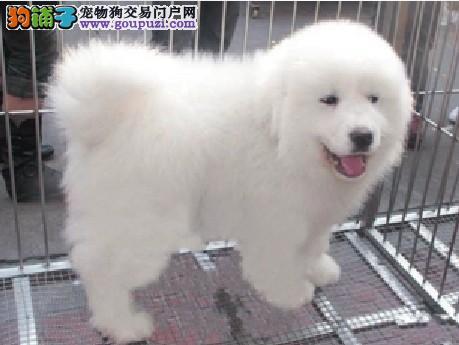 北京售纯种大骨量大白熊幼犬 公母全有可挑选