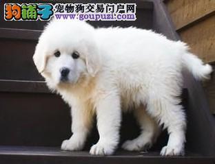 基地超低价格出售纯种大白熊幼犬,可上门选购3