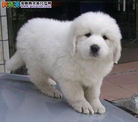 衡阳繁殖售雪兽系大白熊幼犬骨骼大毛质好品相好幼犬售