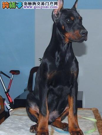 南昌专业的杜宾犬犬舍终身保健康终身完善售后服务2
