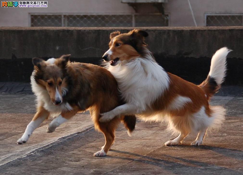 权威机构认证犬舍 专业培育喜乐蒂幼犬专业品质一流