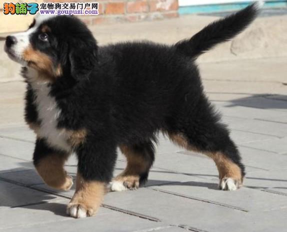 步入老龄期的伯恩山犬在冬天的饲养需注意