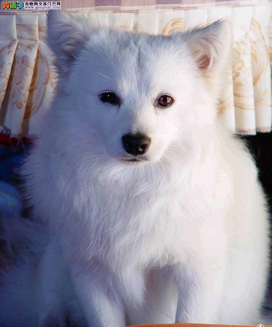 高品质银狐犬幼犬 CKU品质绝对保证 当天付款包邮