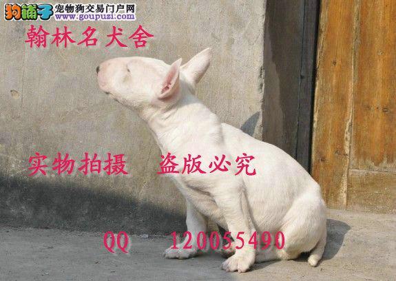 有卖纯种牛头梗的纯蛋头顶级小牛幼犬出售