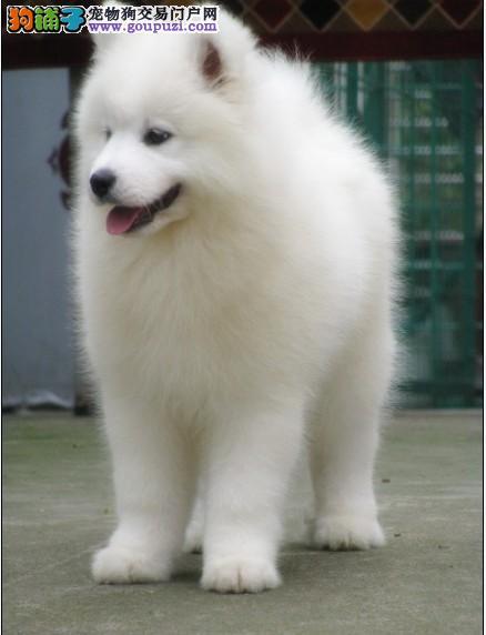 极品幼犬 纯种健康 品质保障