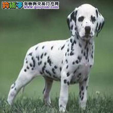 武汉精品高品质斑点狗幼犬热卖中真实照片包纯4