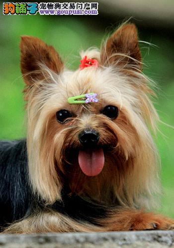 狗场出售高品质纯血统小体毛长金头银背约克幼犬