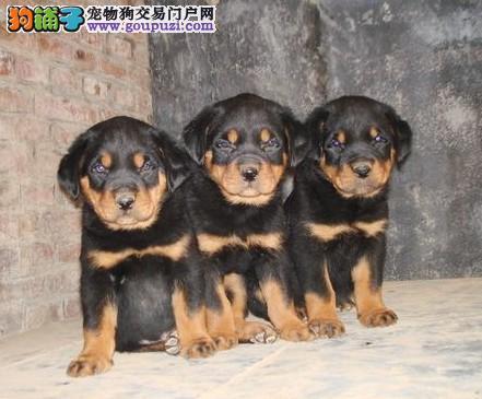 多种颜色的郑州茶杯犬找爸爸妈妈包售后包退换3