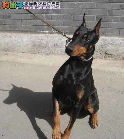 杜宾幼犬基地直销 纯种健康质保、低价出售
