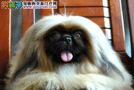 怀化精品京巴犬健康质保三年可签协议 容易驯养包养活