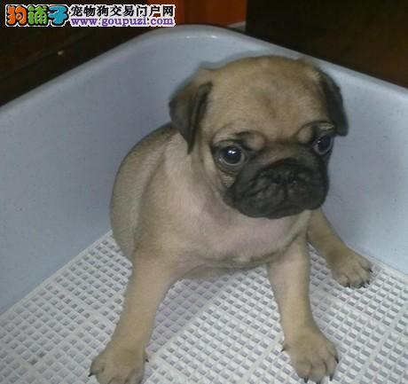 宝宝 巴哥/巴哥犬是体贴,可爱的小型犬