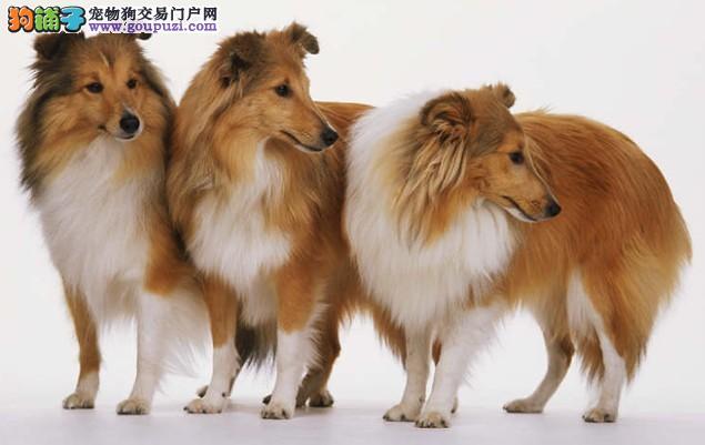 买卖喜乐蒂犬在什么地方 纯种喜乐蒂哪里有出售的