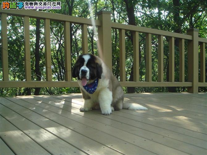 重庆出售优质圣伯纳犬健康品质 放心购买 信誉商家