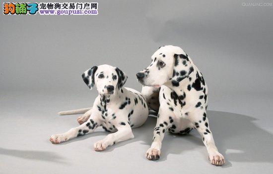 怀孕期间的斑点狗如何照顾好