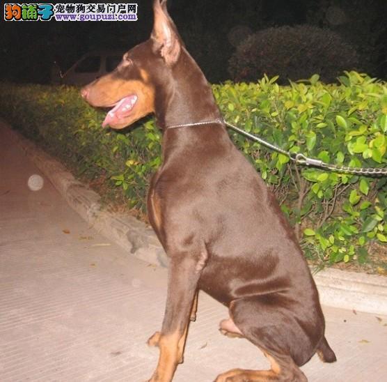 出售杜宾幼犬极品德系杜宾幼犬