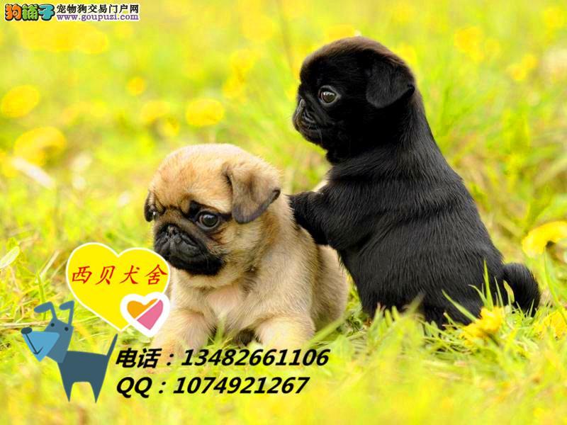 品牌犬舍 赛级巴哥 品相一流 签订保证纯种健康