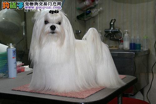 马尔济斯犬成都犬舍繁殖出售签订质保合同价格优惠