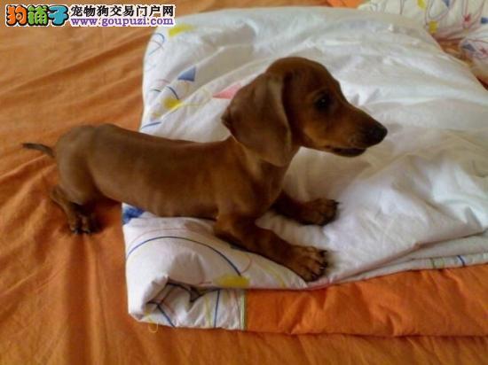 天津迷你小腊肠犬幼犬找主人 血统纯正疫苗做齐腊肠犬