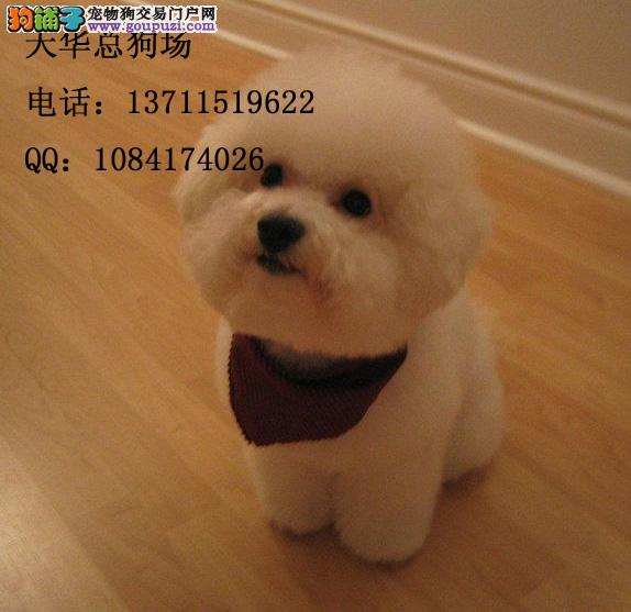 广州有卖比熊犬广州比熊犬一只钱问题a问题面粉图片