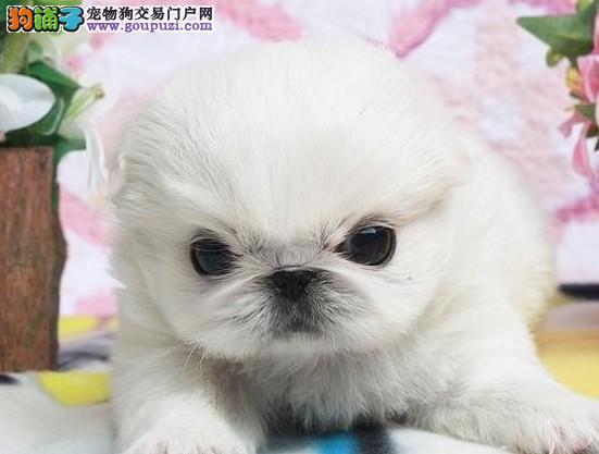 曲靖正规犬舍繁殖纯京巴狗幼犬公母均有疫苗齐全包售后