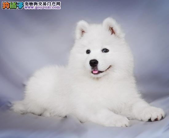 芜湖家养一窝纯种日系尖嘴银狐犬幼犬找新家了