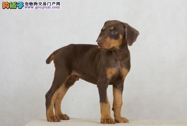出售纯正血统的杜宾幼犬 公母全有 欢迎选购图片