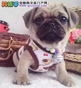 出售聪明伶俐天津巴哥犬品相极佳购犬可签协议