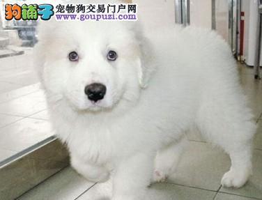 西安售纯种大白熊 大白熊犬幼犬公母全有可挑选1