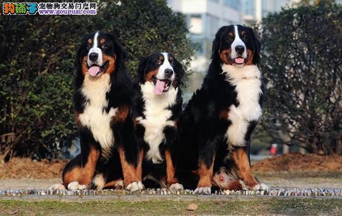 长沙哪里有卖伯恩山幼犬品质好有保障一宠一证视频挑选