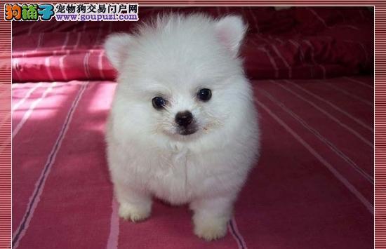 超漂亮!纯种银狐犬幼犬出售!3