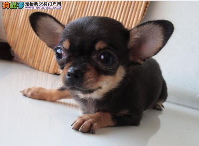 杭州超小体纯种墨西哥吉娃娃苹果头大眼睛品相极佳图片