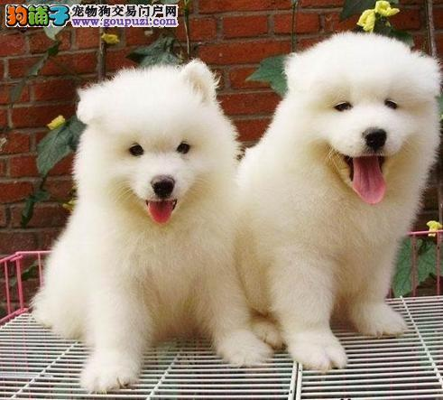 邢台专业繁殖萨摩耶品质好血统纯 最完美的家庭宠物犬