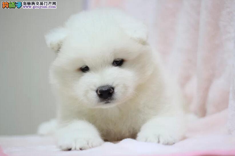 渭南纯种微笑天使萨摩耶幼犬 雪白无水锈 骨骼粗毛量足