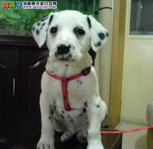 纯种斑点狗出售 体态完美 驱虫疫苗已做 包售后 签协议