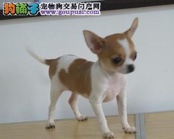苏州哪里买纯种吉娃娃宠物狗,苹果头吉娃娃市场价格