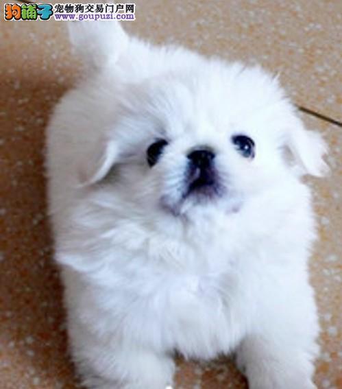 保定正规狗场出售京巴犬保纯种保健康支持送上门可视频