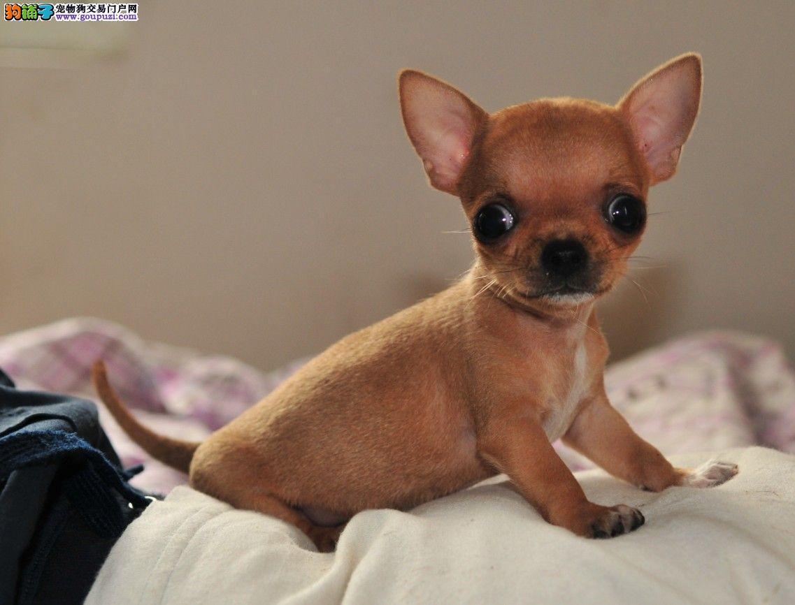 出售纯种墨西哥吉娃娃幼犬图片